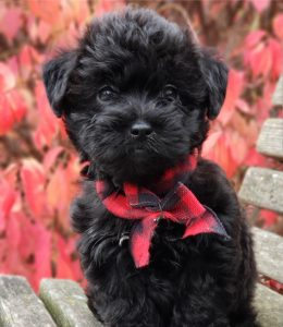 Great Lakes Kennel - Doodles
