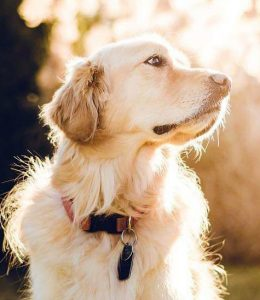 Great Lakes Kennel - Golden Retrievers